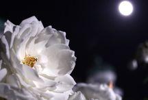 David Austin roses / by Ligia Martinez