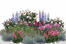 Ruže v záhone