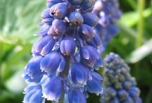 Hyacinth / Muscari
