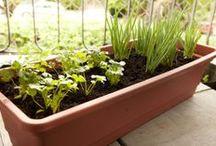 cultivo de temperos em casa