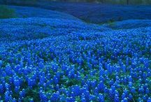 Texas wildflowers / I lived three years in Texas and took long drives out of Austin. The wildflowers I saw enchanted me.