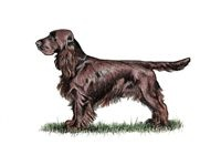 Field Spaniels / Pics of this adorable British breed on the Kennel Club's Vulnerable list. A product of crossing the one-time Sussex Springer and the Cocker Spaniel in the late nineteenth century,