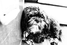 Lhasa apso / Sille