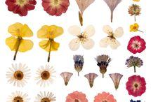 Botanics / Pressed flowers