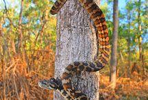 Morphs of Carpet Pythons
