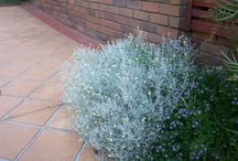Gray (grey) leaf plants / Plants with grey and silver leaves create both highlights and a cooling effect in a planting design. Here's some to choose