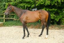Qasser / Bought from the Newmarket July sales for £9,500, Qasser is by a proper stallion in Intikhab, who can sire anything from a sprinter to a staying chaser e.g. Kempes. Qasser won on the flat on soft ground off a rating of 83 over a mile and half a furlong. As well as having plenty of scope to jump, he is strong and athletic and represents real value as he is lightly raced for a four year old, with only the eight runs.