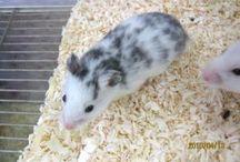 Dalmatian Hamster / ダルメシアンハムスター ゴルハムの仲間だった