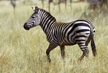 ANIMAL • Zebra