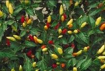 Herbs,Peppers & Tomato Garden
