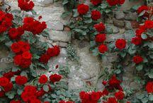 rose bush paintings
