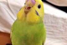 Muhabbet kuşları