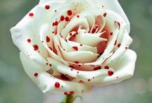 minhas rosas