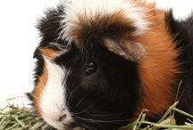 Guinea Pigs!