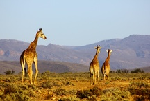 Walk with Giraffes / The giraffe is the tallest land mammal and can grow up to six metres. They are browsers and enjoy the leaves of trees, particularly the acacia. At Inverdoorn you may have the chance to step out of the safari vehicle and walk amongst these noble creatures.