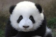 Bébé panda ❤