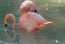 Flamenos aves