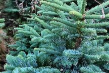 Real Christmas Trees / All about Real Christmas trees. Learn how they are grown and sold every year contributing to rural areas and the economy.