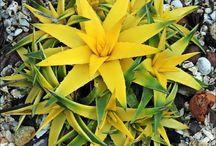 Dyckias / Dyckias são espécies de bromélias terrestres que são excelentes em vaso, ou em jardins rochosos.