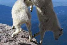 Goats skils