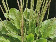 Plantas Medicinais/Temperos