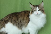 Maine Coon - Black Tabby Spotted & White / #MaineCoon #Black #Tabby #Spotted #White #Cats