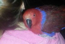Ekkies... / Eclectus parrots