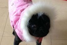 My gorgeous baby pug! / My pug called Starr, most gorgeous pug in the world!