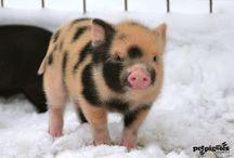Gris er ålreite dyr / The pig - grisen - le cochon - el cerdo
