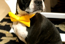 Boston Bull Terriers / by Dawn Ryker