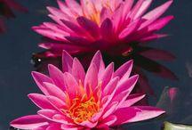 fiori aqcuatici.