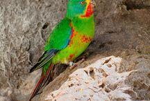 """Lathamus / Il lathamus, o parrocchetto di Latham, è un genere di pappagallo che presenta una sola specie, quella del lathamus discolor. Si tratta di pappagalli di media taglia, dalla forma affusolata e dalla coda molto allungata, in grado di volare ad elevatissime velocità: il nome inglese infatti """"swift parrot"""" significa letteralmente """"pappagallo veloce"""".   http://www.pappagallinelmondo.it/lathamus.html"""