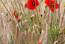 Poppies / Pleasing poppies / by Sugar Gourmande Lou