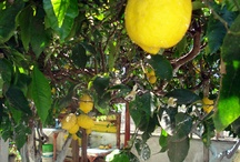 The Lemons of the B&B (www.bbfauno.com) / #limoni #lemons #costiera #orange #pompeii #hotelpompei #agrumi #pompei #excursions #travel #italy #faunopompei The lemon of B & B Il Fauno. The typical lemons in the area, used to prepare the Limoncello or jams to make you enjoy the morning at breakfast. Il limoneto del B&B Il Fauno. I tipici limoni della zona , usati per preparare il Limoncello o le marmellate da farvi gustare la mattina a colazione. / by B&B Pompei Il Fauno