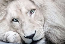 White Lion / by Murat Gümrükçü