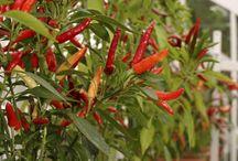 Gorące papryczki ( chili peppers )