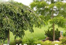 garden:  trees for small yards