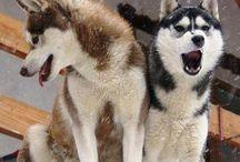 Huskies siberianos y otras razas