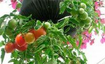 tomate como plantar