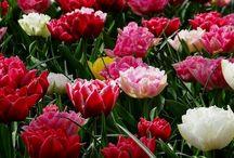 Tulipánok és szép virágok