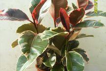 Piante e fiori /  Piante ornamentali di produzione Ortofiore