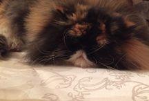 Figari / #chat #cat #persan