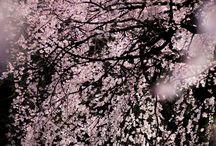 桜/Cherry Blossoms