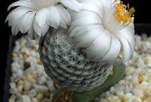 kaktus 2 květ