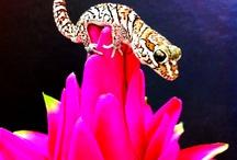 Geckos / Some of our favourite gecko links!  Get more information on geckos here; http://www.reptilecentre.com/files_geckos