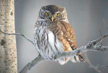 Eurasian owls