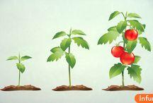 Как вырастить помидор у себя дома