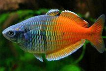Rainbowfish / Rainbowfish for tropical aquariums.