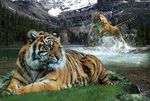 Tigers / Felinos