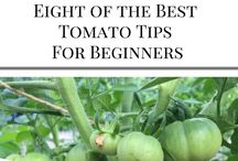 Tips for Dame Zelda / Growing tomato tips